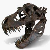 The Life Size Tyrannosaurus Skull.