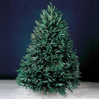 The Freshly Cut Christmas Tree