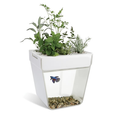 The Aquaponic Fish Tank.