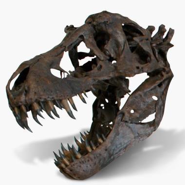 The Life Size Tyrannosaurus Skull