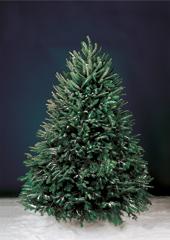 The Freshly Cut Christmas Trees