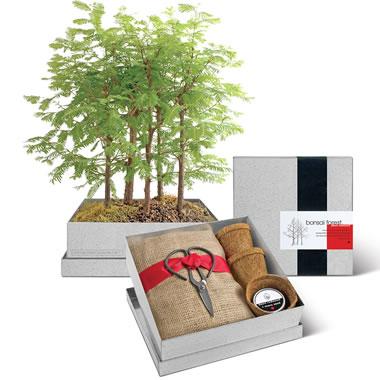The Desktop Redwood Bonsai